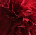 Deep red flower